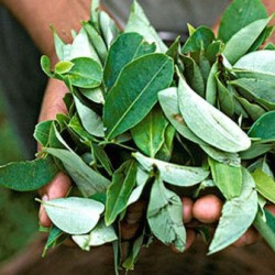 Как правильно употреблять листья коки?